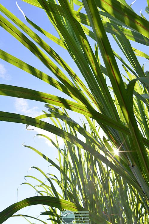 Sugar Cane growing in fields near Houma with old farm equipment.