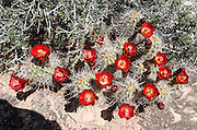 """Echinocereus triglochidiatus (common name Claret Cup Hedgehog, Mojave mound cactus, or Kingcup cactus) is native to southwest USA and northern Mexico. Echinocerens is from the Greek echinos, meaning a hedgehog, and cereus meaning a wax taper. triglochidialus means """"three barbed bristles"""" and refers to the straight spines arranged in clusters of three. Photographed on Slickrock Foot Trail, in Needles District of Canyonlands National Park, Utah, USA."""