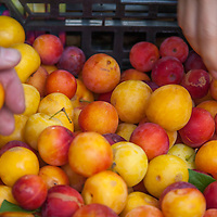 Close up of a shopper's  hand shorting selecting red and yellow plums at a farmers market.