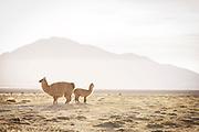 Llamas at Salar de Tara, Atacama Desert. Chile, South America