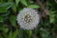 dandelion seeds weed