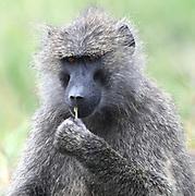 A yellow baboon (Papio cynocephalus) consumes a plant stem. Serengeti National Park, Tanzania.