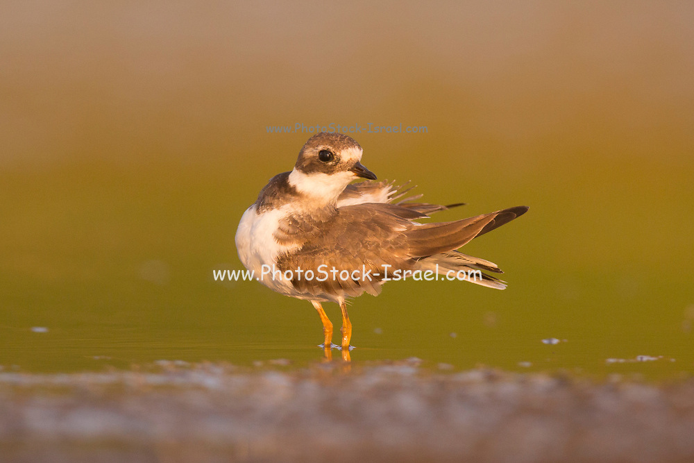 Ringed plover also Common ringed plover (Charadrius hiaticula) are migratory and winter in coastal areas south to Africa. Photographed at Ein Afek Nature reserve, Israel in October