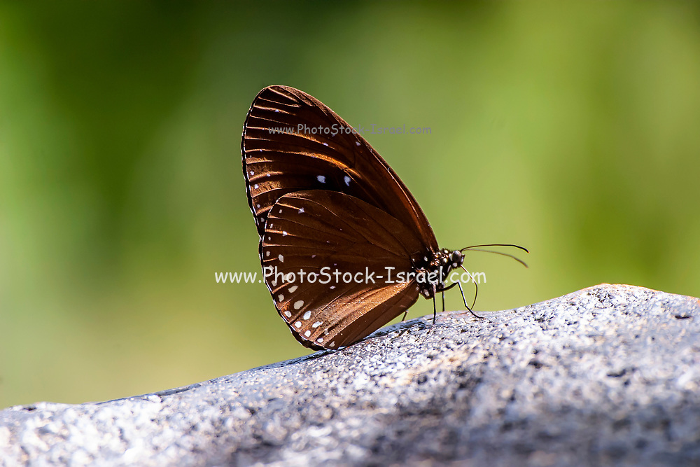 Elegant brown monarch butterfly at rest. Photographed in Thailand