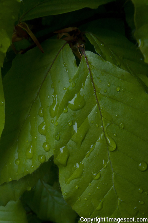 Beech leaves, water drops, wet<br /> *ADD TO CART FOR LICENSING OPTIONS*