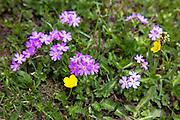 Alpine wildflower below the Swiss Alps, Switzerland