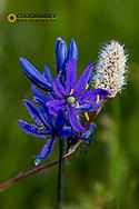 Blue camas adn American bistort widflowers near Marias Pass, montana, USA