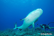 diver uses mobile phone to shoot underwater video of two female tiger sharks, Galeocerdo cuvier, as they turn away from each other to avoid a collision; closer shark has remora or sharksucker attached to underside, Honokohau, Kona, Big Island, Hawaii, USA ( Central Pacific Ocean ) MR 473