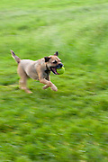 Border Terrier dog rushing along holding tennis ball in mouth