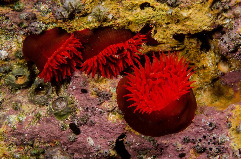 Waratah anemone, Actinia tenebrosa