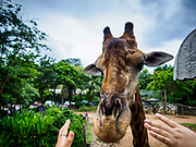 17 AUGUST 2018 - BANGKOK, THAILAND:   A woman reaches out to pet the male giraffe at Dusit Zoo in Bangkok. The zoo opened in 1938. The zoo grounds were originally the Dusit Royal Garden. The zoo is scheduled to close by the end of August 2018 because it is being relocated to Nakhon Pathom province, south of Bangkok.      PHOTO BY JACK KURTZ