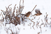 Dartford warbler (Sylvia undata) takes flight on snow covered heathland (composite). Surrey, UK.
