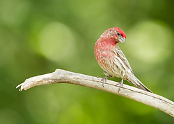 A Male Finch perched atop a sunny bokeh backed branch