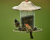 House Finch and Tufted Titmouse on a Wet Bird Feeder Image taken with a Nikon D4 camera and 600 mm f/4 VR lens (ISO 180, 600 mm, f/4, 1/200 sec).