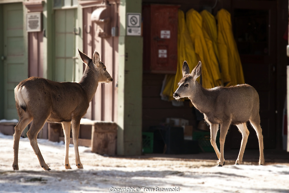Mule Deer walking through the open Mule barn on the South rim of Grand Canyon