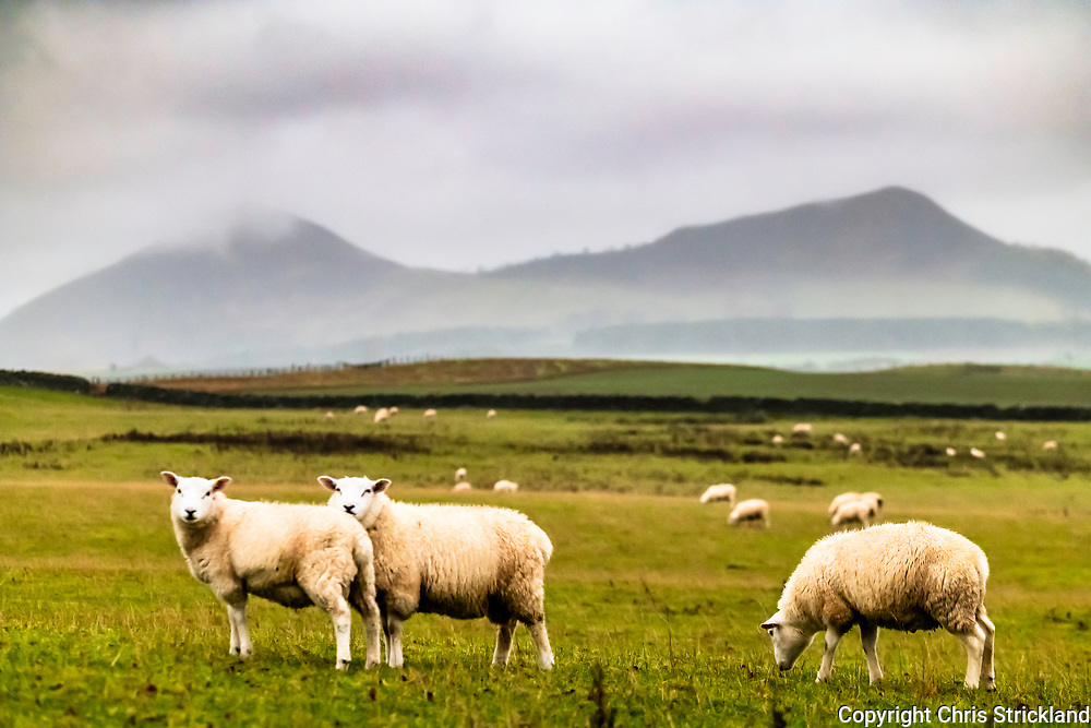 Selkirk, Scottish Borders, UK. 14th November 2018. Sheep graze on Over Whitlaw Farm with the Eildon Hills in the background a wet and windy day in the Borders.