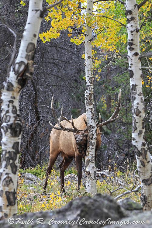 Rocky Mountain elk rubbing aspen tree in autumn habitat