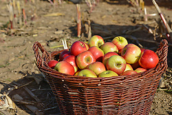 Basket with apples on field, Bavaria, Germany