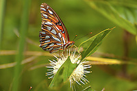 A gulf fritillary butterfly feeds on a buttonbush flower in Southern Georgia.