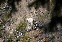 After being shot with a tranquilizer dart, a mountain goat turns to eye its would-be captors.