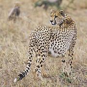 Cheetah, (Acinonyx jubatus) Mother and cubs hunting Serengeti Plains Masai Mara Reserve. Kenya.