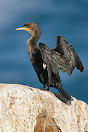 Double-crested Cormorant - Phalacrocorax auritus