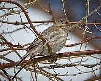 Immature Red Crossbill? or Female House Finch? Image taken with a Nikon D2xs camera and 80-400 mm VR lens (ISO 100, 400 mm, f/11, 1/500 sec).