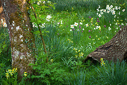 Narcissus 'Actaea' growing in the grass at The Old Rectory with Fritillaria meleagris and Primula veris - cowslips. Design: Mary Keen