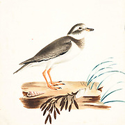 The common ringed plover or ringed plover (Charadrius hiaticula) is a small plover that breeds in Arctic Eurasia. 18th century watercolor painting by Elizabeth Gwillim. Lady Elizabeth Symonds Gwillim (21 April 1763 – 21 December 1807) was an artist married to Sir Henry Gwillim, Puisne Judge at the Madras high court until 1808. Lady Gwillim painted a series of about 200 watercolours of Indian birds. Produced about 20 years before John James Audubon, her work has been acclaimed for its accuracy and natural postures as they were drawn from observations of the birds in life. She also painted fishes and flowers. McGill University Library and Archives