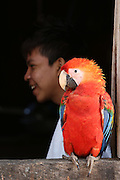 Surui village home with parrots<br /><br />An Amazonian tribal chief Almir Narayamogo, leader of 1350 Surui Indians in Rondônia, near Cacaol, Brazil, with a $100,000 bounty on his head, is fighting for the survival of his people and their forest, and using the world's modern hi-tech tools; computers, smartphones, Google Earth and digital forestry surveillance. So far their fight has been very effective, leading to a most promising and novel result. In 2013, Almir Narayamogo, led his people to be the first and unique indigenous tribe in the world to manage their own REDD+ carbon project and sell carbon credits to the industrial world. By marketing the CO2 capacity of 250 000 hectares of their virgin forest, the forty year old Surui, has ensured the preservation, as well as a future of his community. <br /><br />In 2009, the four clans and 25 Surui villages voted in favour of a total moratorium on logging and the carbon credits project. <br /><br />They still face deforestation problems, such as illegal logging, and gold mining which causes pollution of their river systems