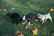 Three dogs sniff each other in London Fields on 7th of November 2020, East London, United Kingdom. A Cockapoo, a Boston Terrier and a Pug sniff and greet each other. London Fields in Hackney has become a great gathering of pedigree dog breeds and particular cross breeds like the Cockapoo.