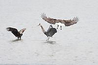 A bald Eagle (Haliaeetus leucocephalus) has a confrontation with a  Great Blue Heron (Ardea herodias)  near the shore of the Hood Canal of Puget Sound, Washington, USA