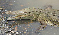American Crocodile, Crocodylus acutus, basking at the edge of the Tarcoles River, Costa Rica. Listed as Vulnerable in the IUCN Red List of Threatened Species.