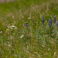 Lupines and other wildflowers grow in a pasture near Bozeman, Montana.