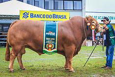 Grandes Campeões Limousin