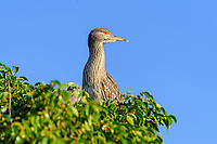 Immature Black-crowned Night Heron (Nycticorax nycticorax)  perched in a tree, Jocotopec, Jalisco, Mexico