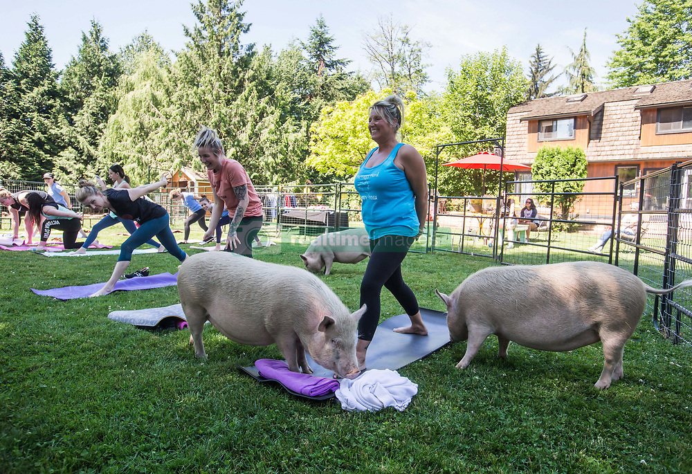 Tammy Ennis, right, and her daughter Karilee Ennis, second right, laugh while participating in a yoga session with pigs during a charity fundraiser at The Happy Herd Farm Sanctuary, in Aldergrove, BC, Canada on Sunday June 24, 2018. The not for profit sanctuary held three yoga classes with four pigs on Sunday to raise money to help cover veterinarian costs. The pigs were born at the sanctuary when one of two neglected pot-bellied pigs seized by the SPCA unexpectedly gave birth to a litter of five after being taken in. Photo by Darryl Dyck/CP/ABACAPRESS.COM