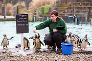 Zoo Keeper Vicky Fyson counting the penguins. 70 Humboldt and 1 Rockhopper.  The ZSL London Zoo Annual Stocktake 2015. Responsible for the care of more than 750 different species, keepers face the formidable task of noting every mammal, bird, reptile, fish and invertebrate at the Zoo.