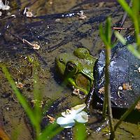 Bullfrog at Moraine State Park