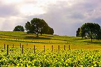 Vineyards, Park Hill Winery, Te Awanga coast, near Napier, Hawkes Bay, north island, New Zealand
