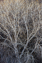 Winter tree abstracts in Animas Creek, Ladder Ranch, west of Truth or Consequences, New Mexico, USA.