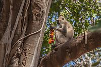Langur monkey at Ranthambhore Fort, Sawai Madhopur, India