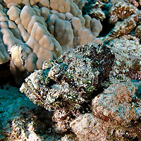 Scorpionfishes and Coral Crouchers