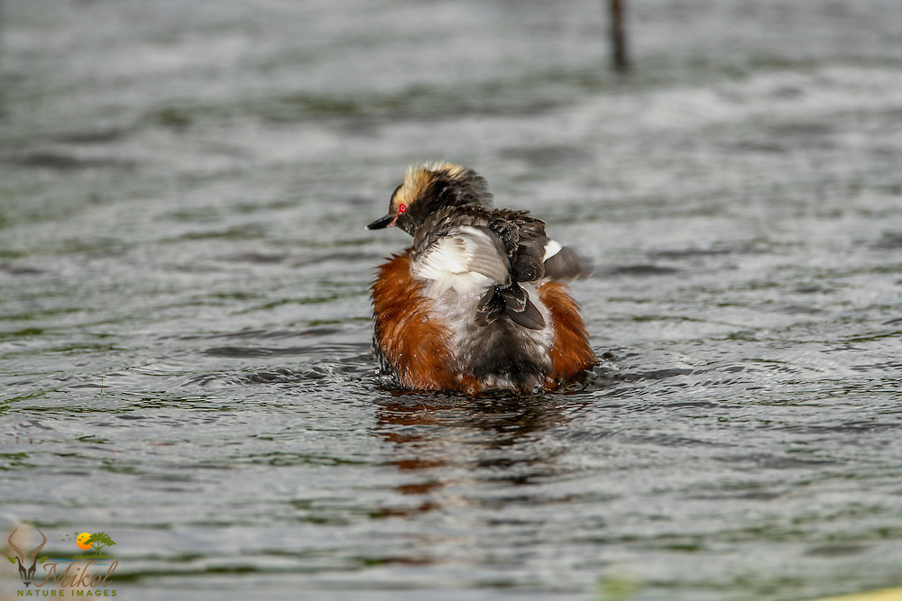 Horned Grebe with Ruffled Feathers