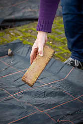 Covering a vegetable bed with plastic in order to suppress weeds and warm up the soil. Weighing down the membrane with a brick