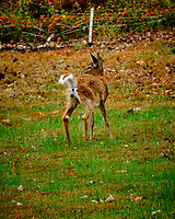 Young Doe fertilizing the backyard. Image taken with a Fuji X-H1 camera and 200 mm f/2 OIS lens + 1.4x teleconverter