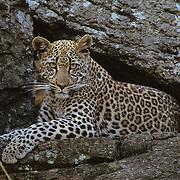 Leopard (Panthera pardus) resting on rocks. Masai Mara National Reserve, Kenya, Africa