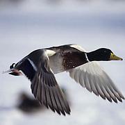 Mallard Duck, (Anas platyrhynchos) Male drake in flight. Minnesota.
