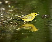 Yellow Warbler (Setophaga petechia). Campos Viejos, Texas. Image taken with a Nikon D4 camera and 500 mm f/4 VR lens.