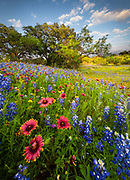Bluebonnets and Indian Blanket along country road in the Texas Hill Country around Llano. Lupinus texensis, the Texas bluebonnet, is a species of lupine endemic to Texas. With other related species of lupines also called bluebonnets, it is the state flower of Texas.